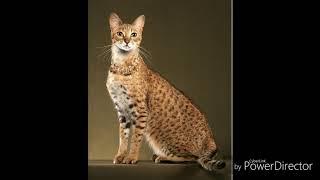 Ашера (Саванна)! Обзор самой дорогой кошки в мире.