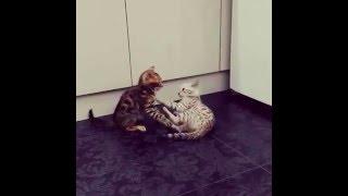 Бенгальские котята -ручные леопарды!