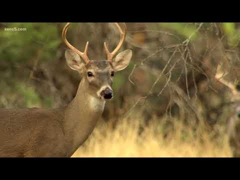 Texas Outdoors: How Deer Hunting Improved In The San Antonio Area