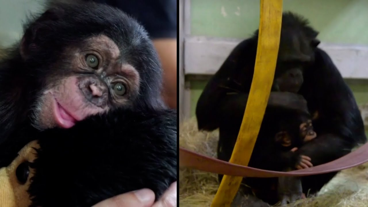 what are baby chimps called