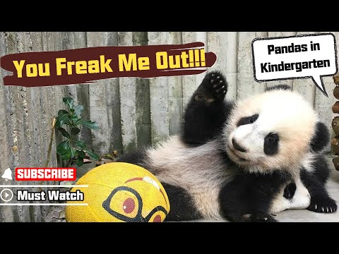 Hilarious! See How Easily Can Pandas Be Freaked Out!   iPanda