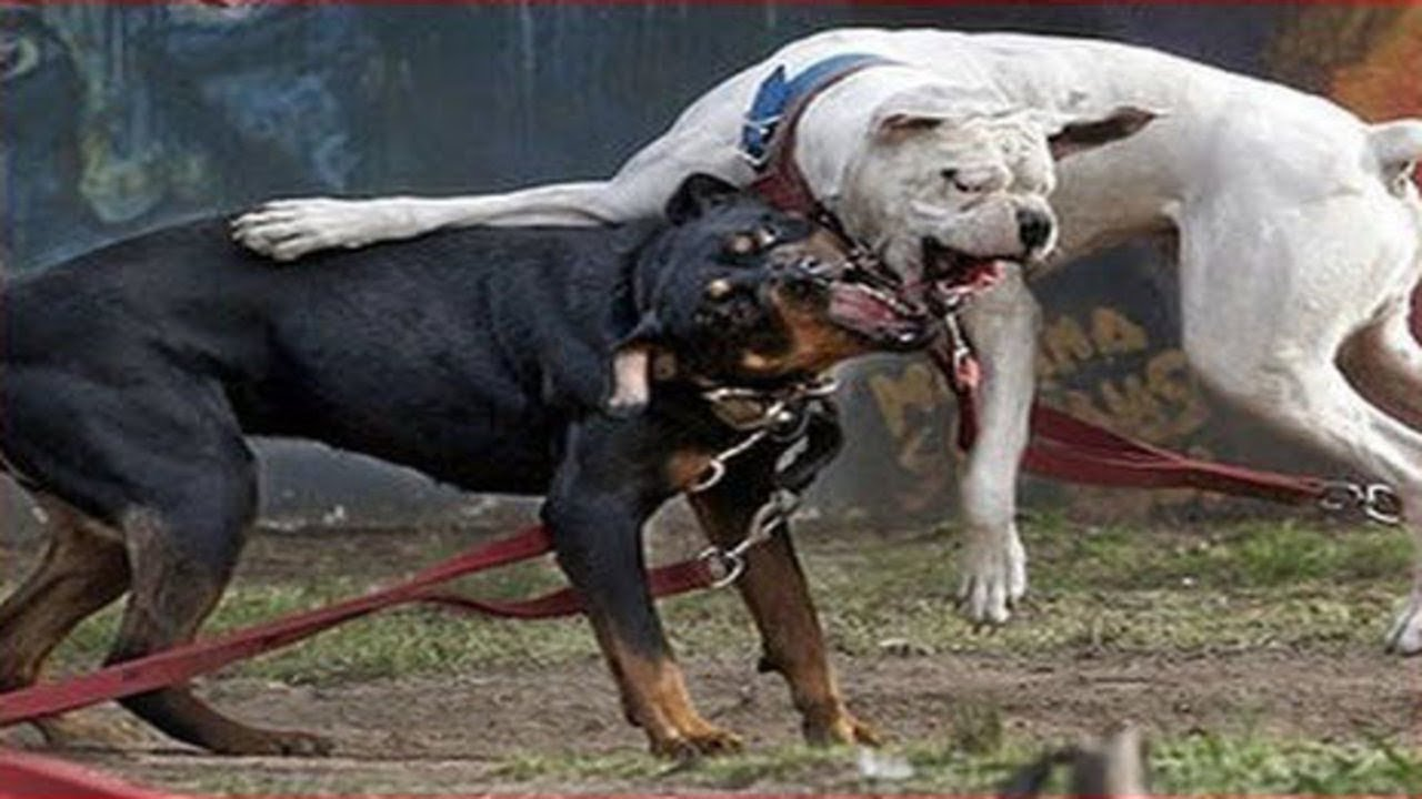 Pitbull Vs Rottweiler Real Fight Wild Animals Attack Youtube