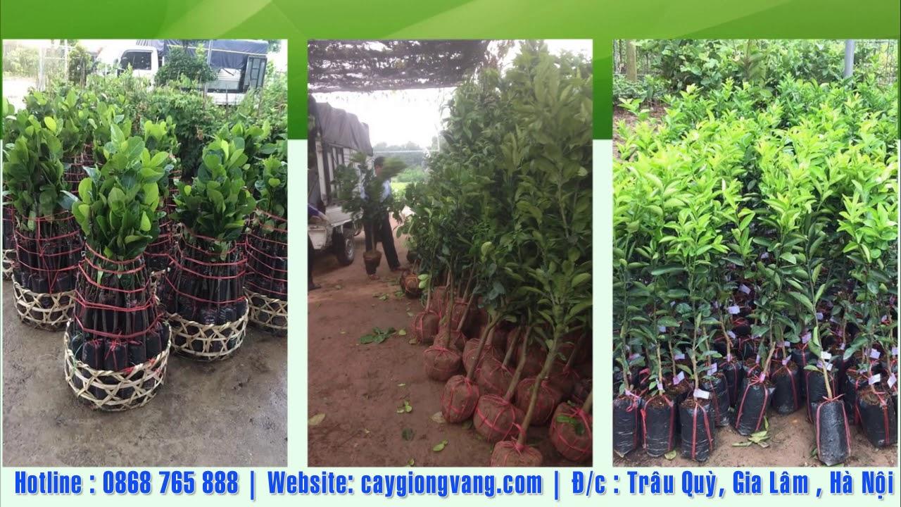 TRUNG TÂM GIỐNG CÂY TRỒNG HỌC VIỆN NÔNG NGHIỆP VIỆT NAM 0868765888 giống cây trồng chất lượng uy tín
