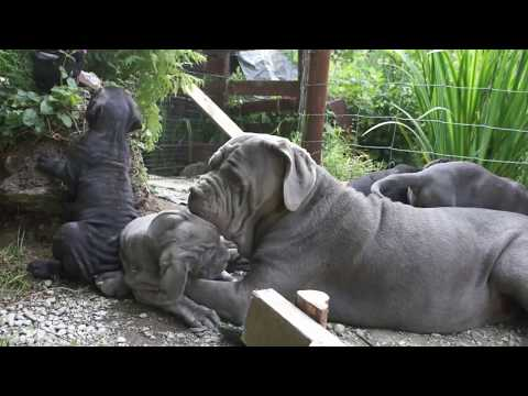 Neapolitan Mastiff Puppies - Another Morning with Big Sister Boo