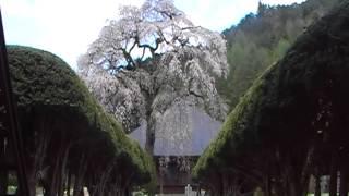 南泉寺の桜 2012年 その1