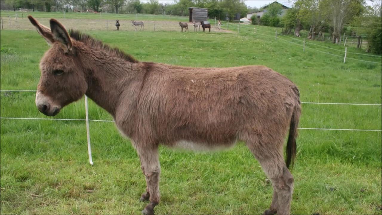 Animal sounds: Donkey bray