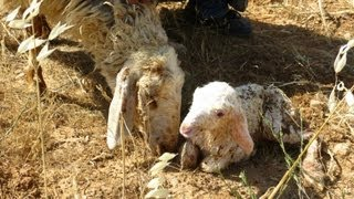 New born sheep during grazing 4.5.2013