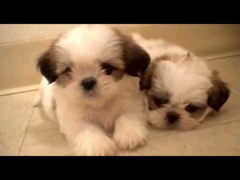 6 Weeks Old Shih Tzu Puppies Youtube