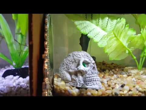 Betta Myth Busters: Flaring, Good or Bad??