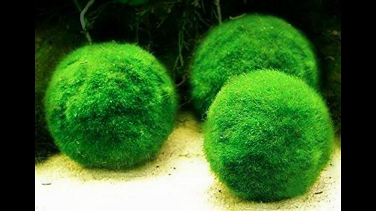 Marimo moss balls propagate youtube for Marimo moss ball