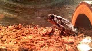 American toad feeding!