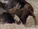 BBC: Moose v Wolf Pack - A Moose Named Madeline