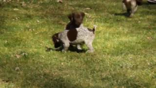 German Shorthair Pointer Puppies For Sale | Greenfield Puppies