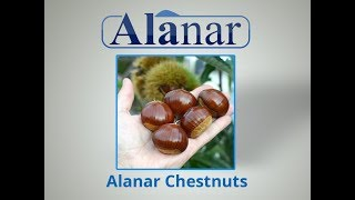 Fresh Chestnuts Prepared  By Alanar For Export By Pasteurization Method For 2017 Season From Turkey