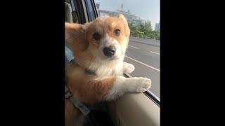 Corgi Loves Car Rides || ViralHog