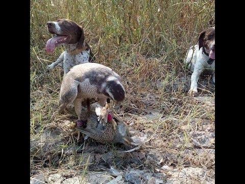 Black Partridge Hunting In Pakistan German Pointer Dog Pointer