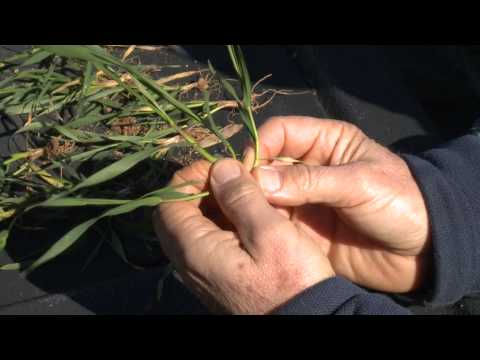 Counting Tillers To Optimize Spring Nitrogen Rates & Timing