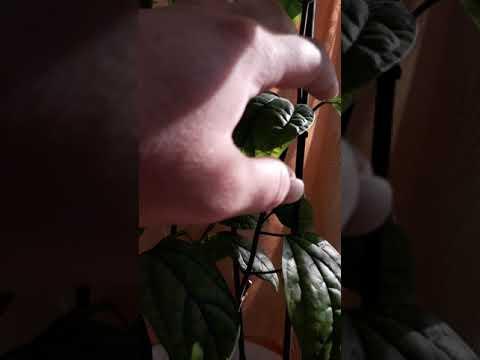Как заставить цвести клеродендрум Томсона