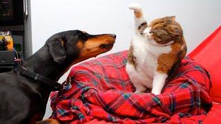 고양이 vs 개 싸움의 승자는 가장 웃긴 고양이 영화 ㅋㅋㅋ #05