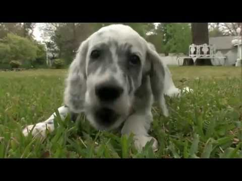 Dog Breeds - English setter. Dogs 101 Animal Planet