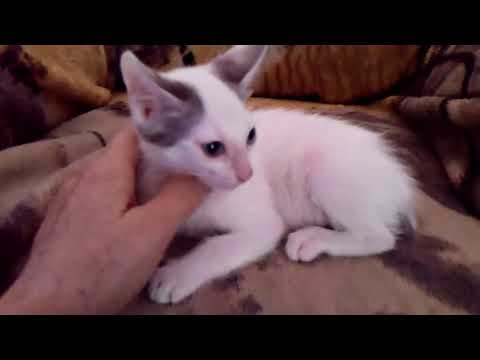 Effie's Blue & White Blue-Eyed Japanese Bobtail Male Kitten born 6/17/17