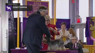 Cesky Terriers White | Breed Judging 2019