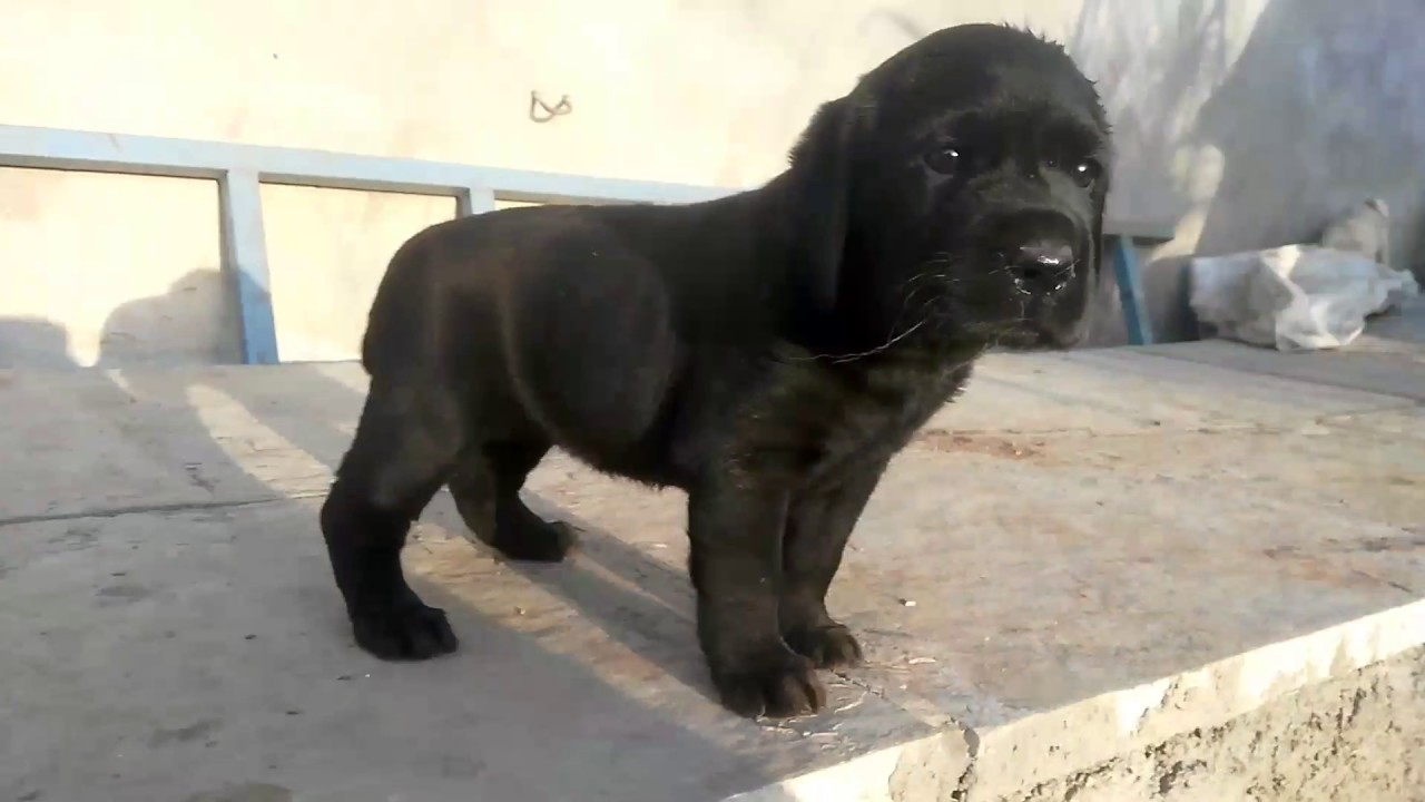 Show Quality Black Labrador Puppy Crying In The Morning