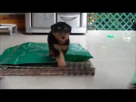 Introducing the Tarp game to a 7 week old Welsh Terrier puppy