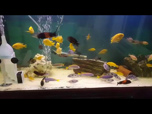 A Aquarium of Cichlids