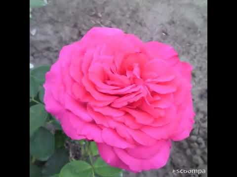 Моя роза Big Purple.
