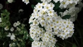 ЦВЕТЫ НЕВЕСТЫ - СПИРЕЯ (белая невеста) видео 2018
