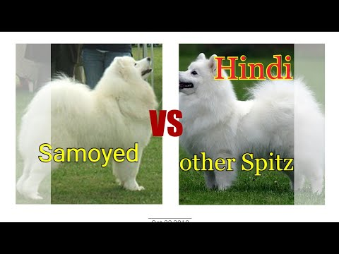 Samoyed vs other spitz dogs.