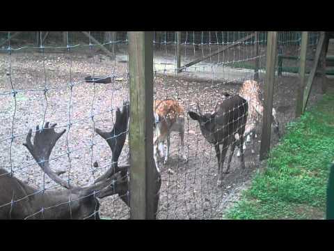 Europian Fallow Deer Call
