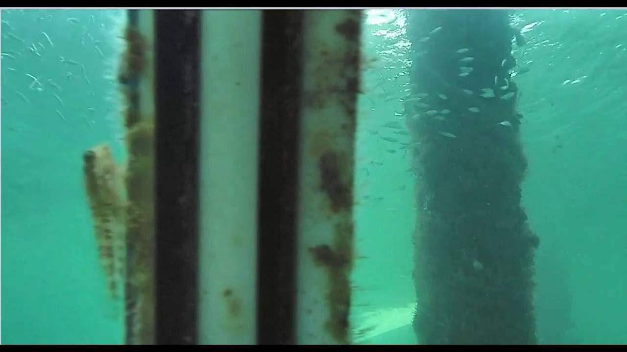 Blenny At Deerfield Pier Underwater Cam 6 11 16