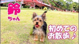【ヨークシャーテリア専門犬舎チャオカーネ】 鈴ちゃん!初めてのお散歩...