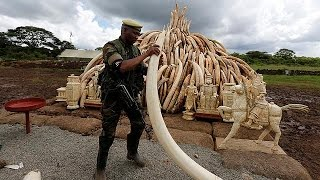 Kenya burns over a hundred tons of elephant tusks and calls for a worldwide ban on ivory sales