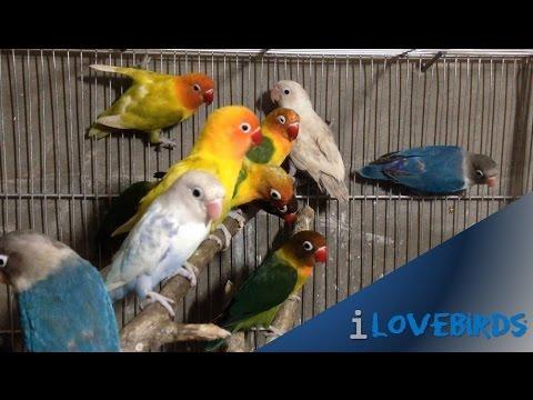 Different Lovebirds Color Mutation (Lovable Pet Birds)