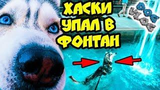 DOGVLOG: ХАСКИ УПАЛ В ФОНТАН! Говорящая собака