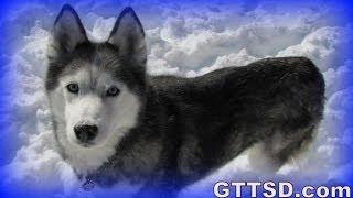 Cuddle Clone Shiloh The Siberian Husky