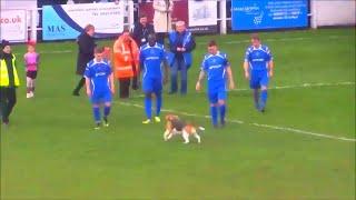 Beagle disrupts soccer match | FUNNY | Beagle Universe