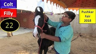 पुष्कर मेला Pushkar Fair Mela Horse Market 2018 : Indian Colt Filly  : Ghoda Bazar