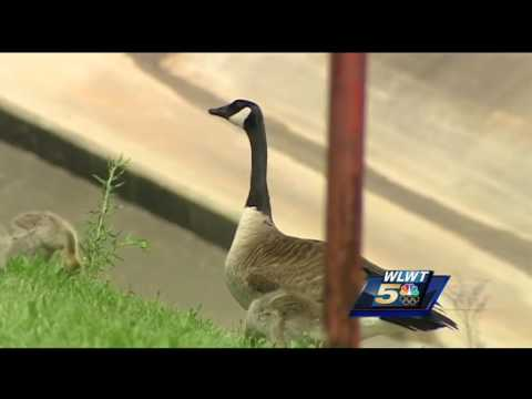 Cincinnati officers rescue tangled gosling