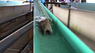Trout Spawning at Palmer Fish Hatchery