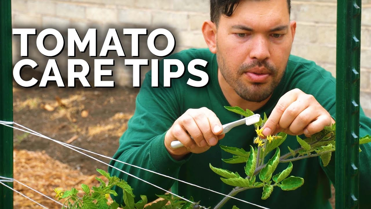 Download Tomato Care: How to Prune, Water, Support, and Fertilize for JUICY Tomatoes 🍅