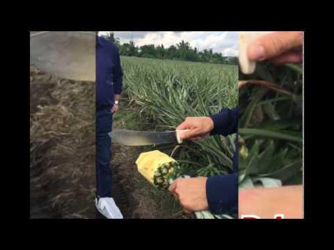 Dole Pineapple Philippines