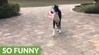 Happy Great Dane loves to carry in groceries