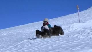 犬と一緒に、スイスならではの木製ソリで滑ってきました.