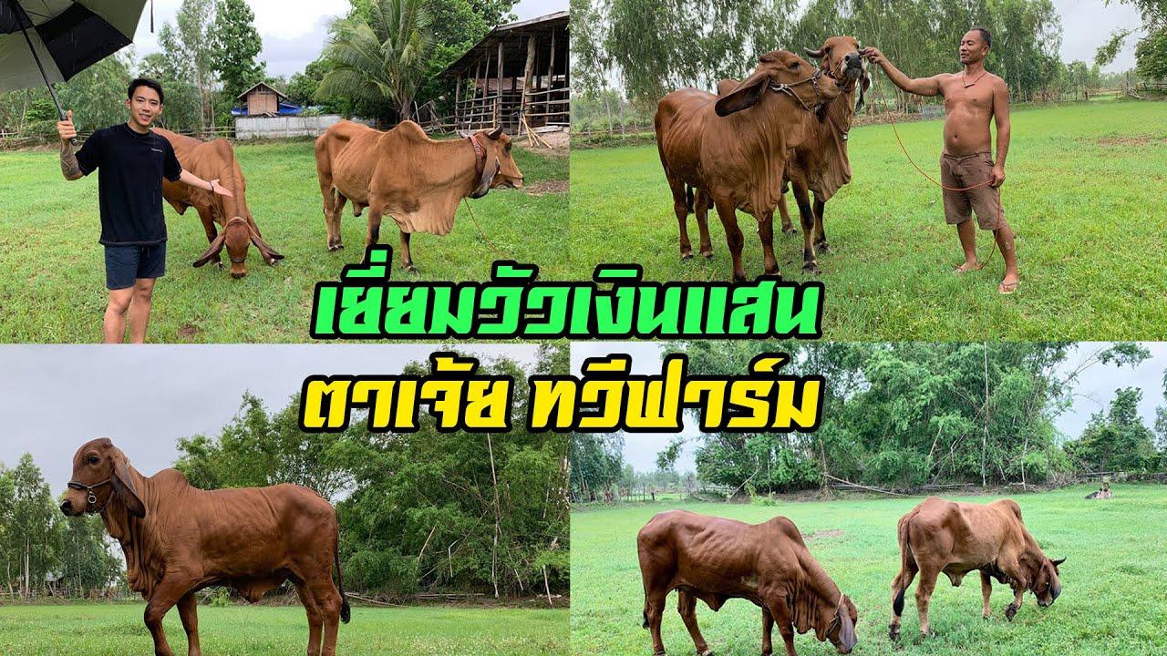 เยี่ยมวัวเงินแสน ตาเจ้ย ทวีฟาร์ม