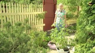 Георгины.САД день за днем №28(Программа посвящена тому, как сделать сад красивым самостоятельно, не затратив при этом много сил, средств..., 2013-08-27T06:48:24.000Z)