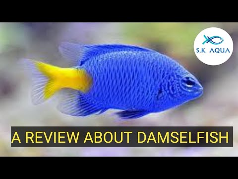 A Review About Damselfish. [TAMIL]